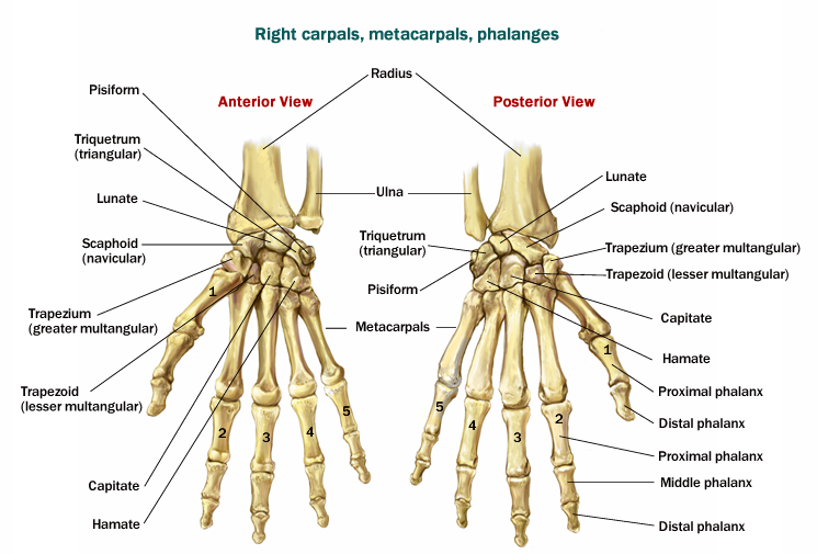 Skeletal System Appendicular Skeletal System Anatomy Anatomy And Physiology Massage Therapy