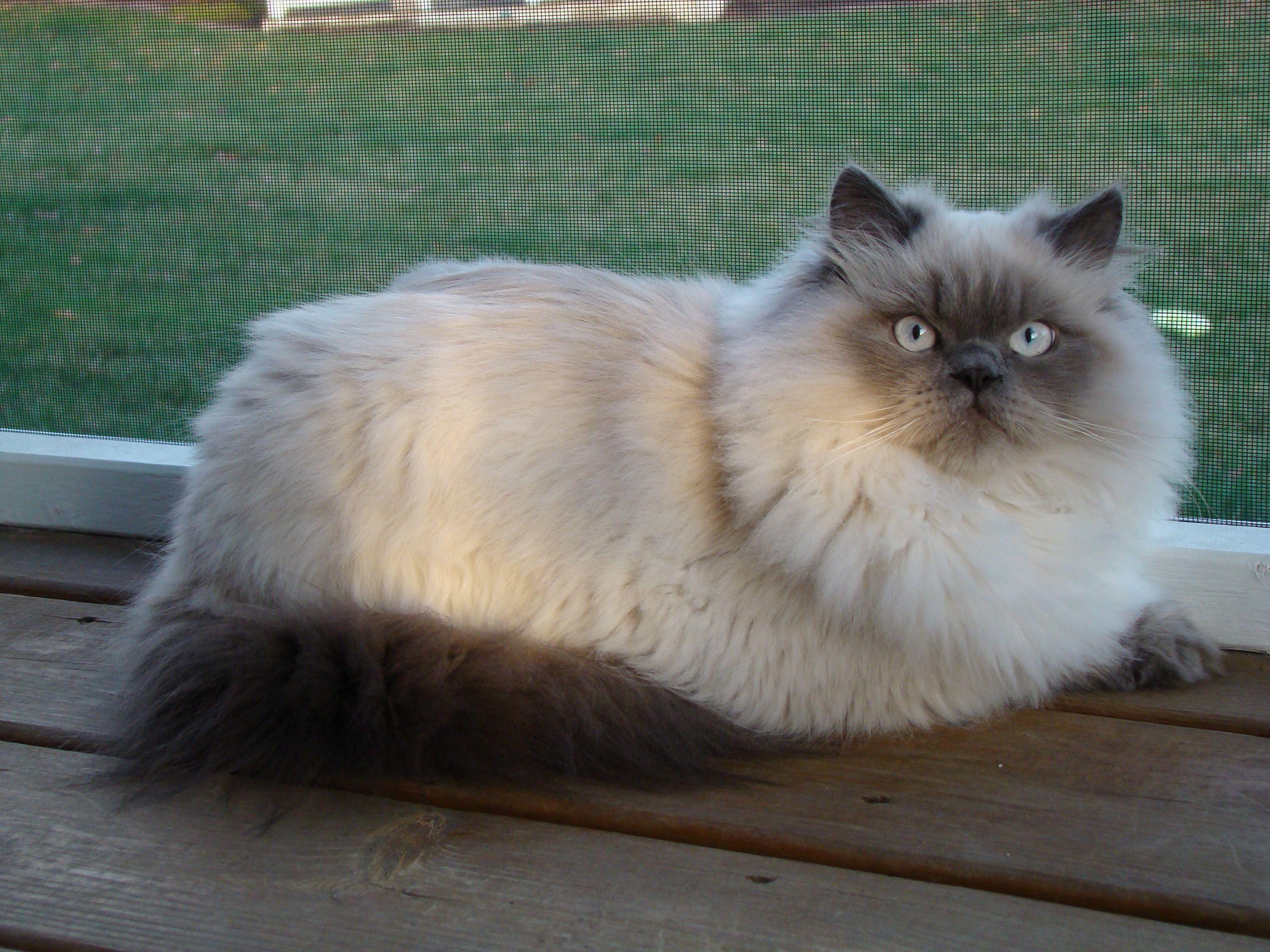 pageTitle Himalayan cat, Himalayan kitten, Himalayan