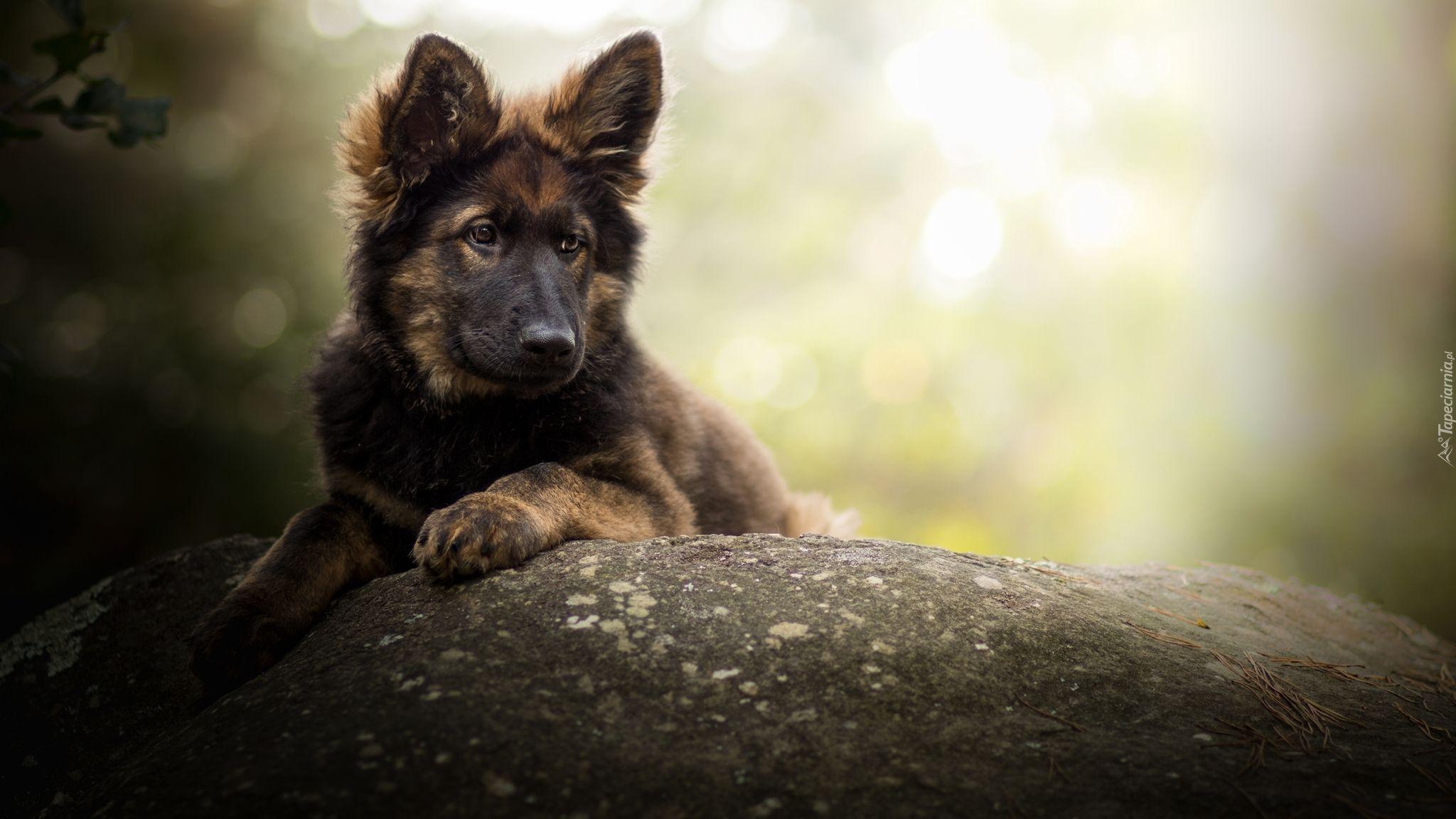 Owczarek niemiecki Owczarek niemiecki, Pies pasterski