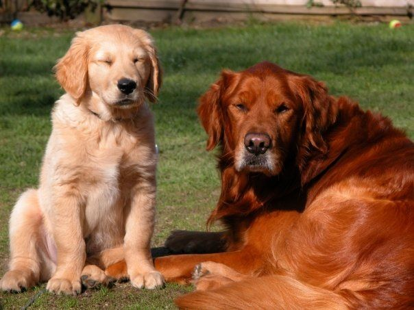 Golden Retriever Red And Gold Dogs Animals Pets