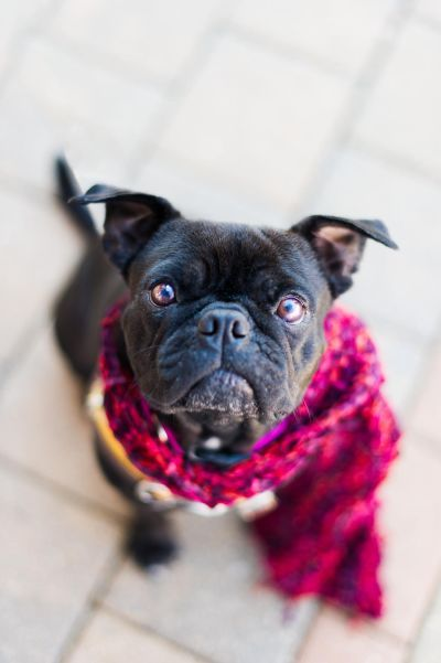 Mae Belle Boston Terrier Pug Mix Available For Adoption