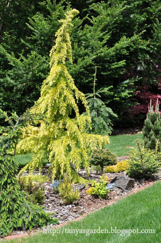 specimin trees landscaping