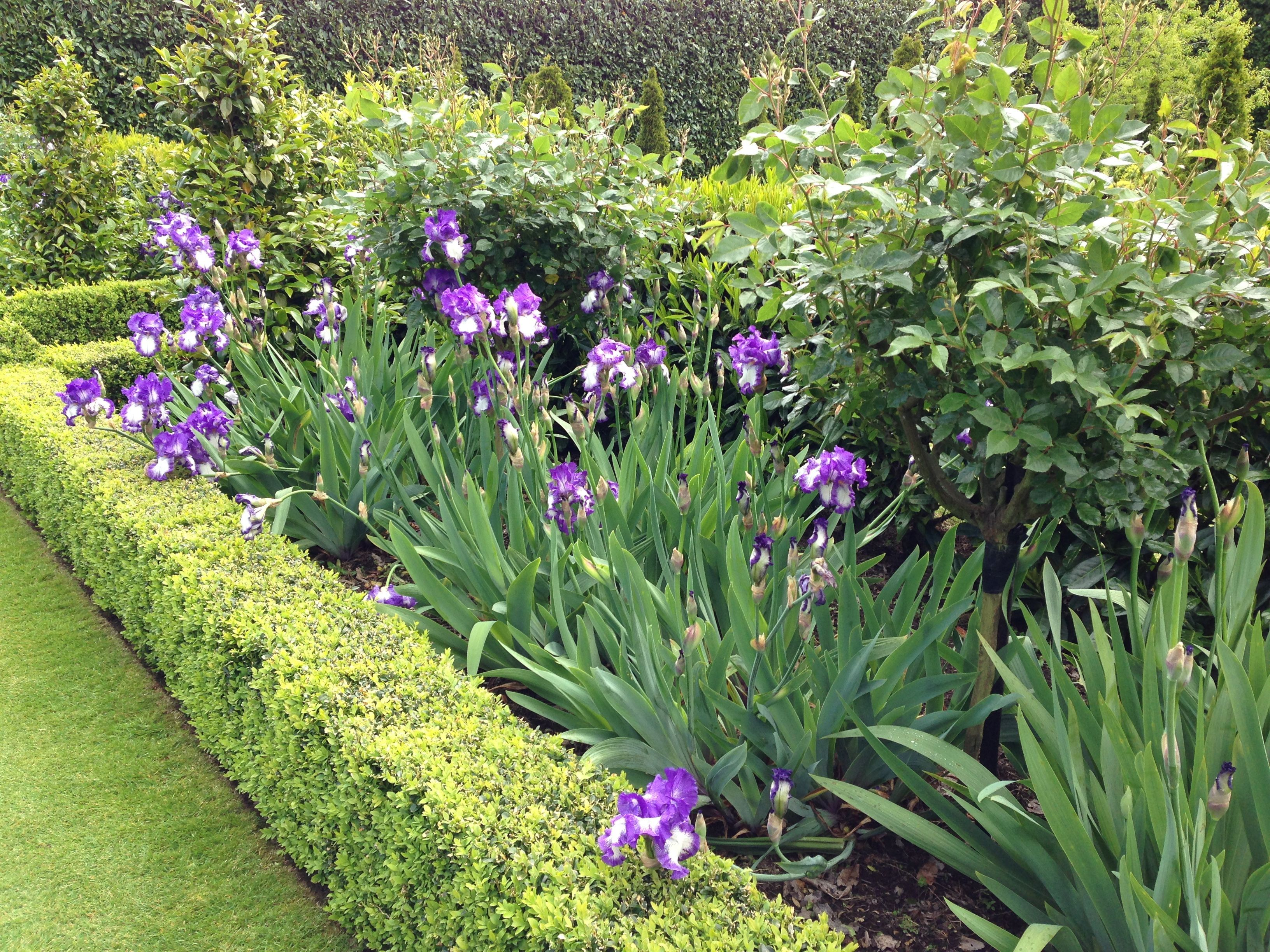 Neat Buxus beds with bearded Iris and roses Garden Pinterest