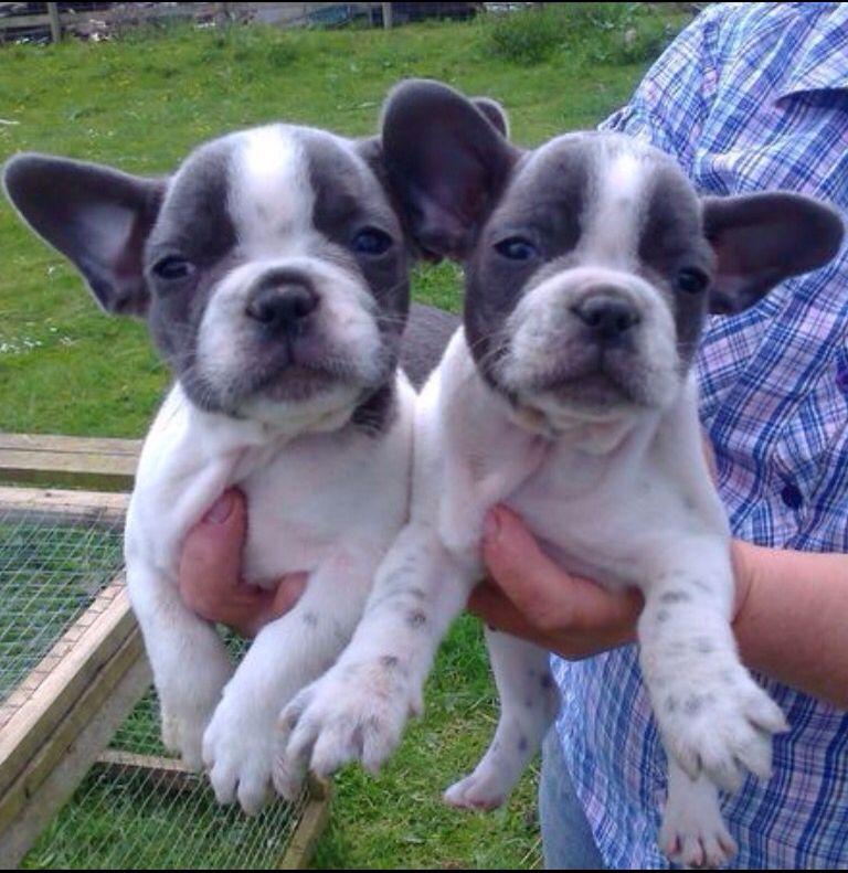Blue and White Sleepy head French Bulldog Puppies🐾❤️