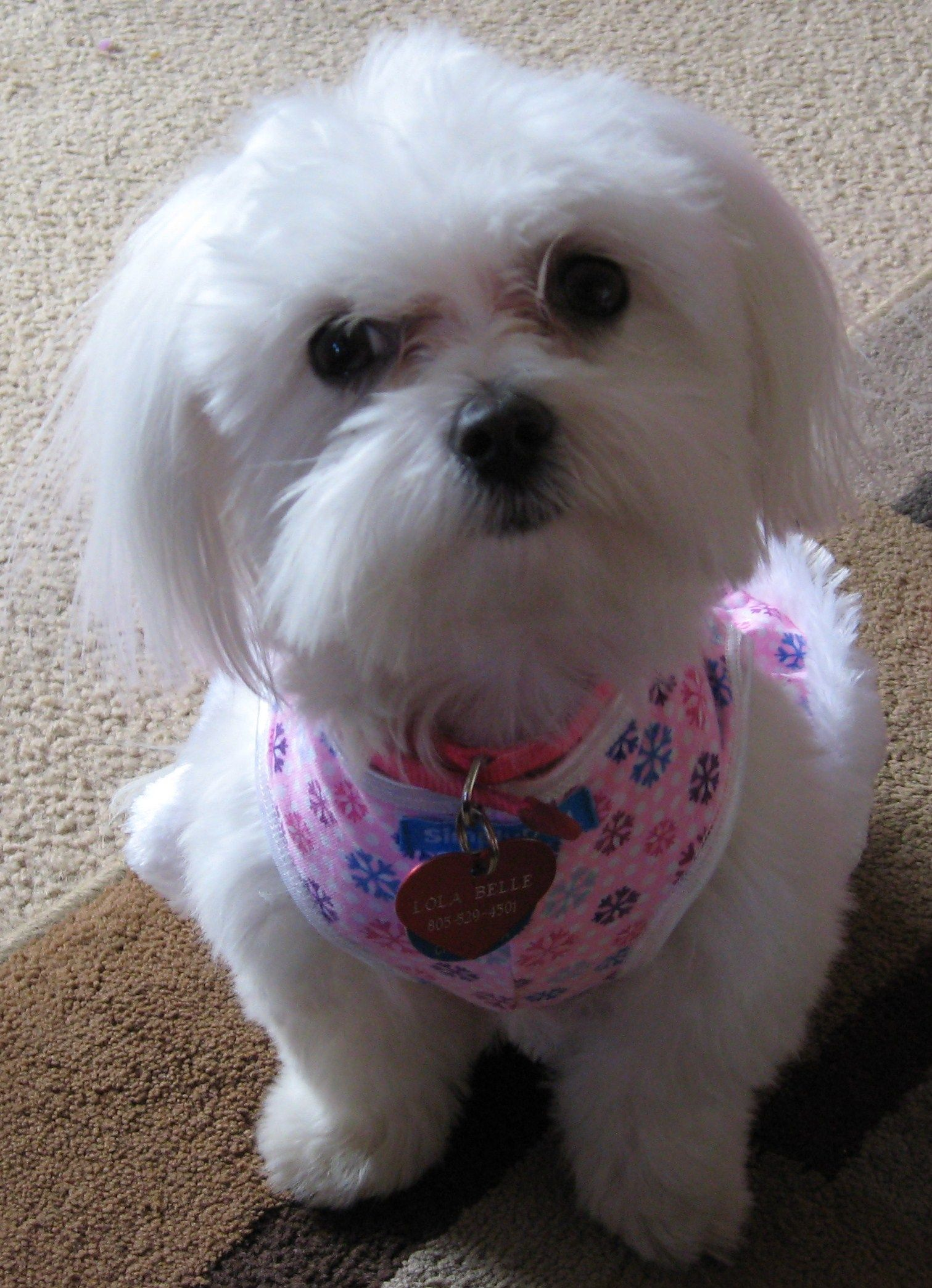 A Maltese Named Lola Girl Puppies Teacup Maltese Pets