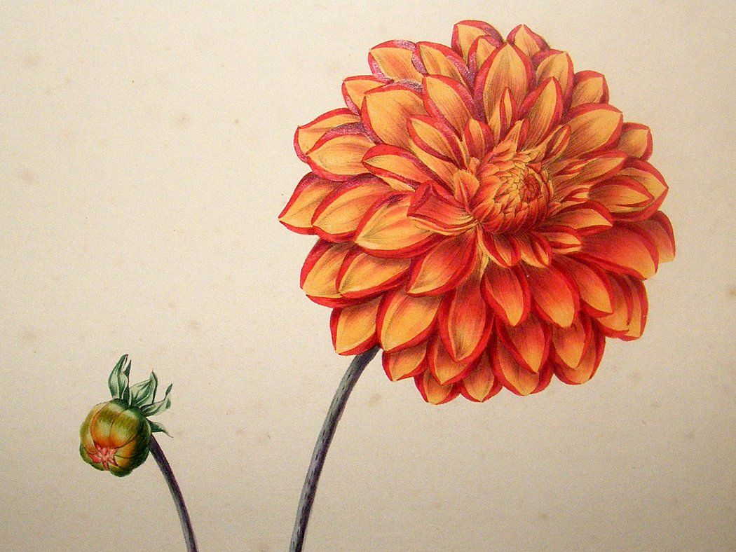 print is 4 x 4 Study of Dahlia  8 x 8 in matted print