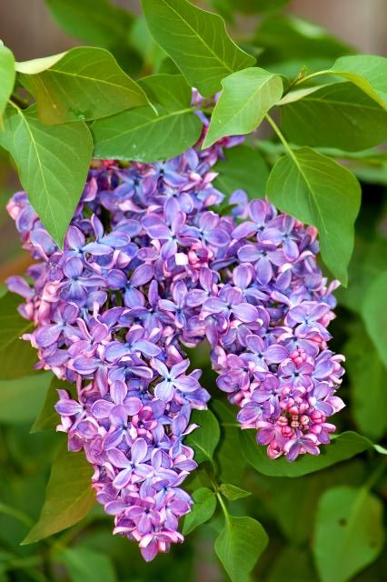 These Shrubs Love Sun You Ll Love Their Flowers Lilac Bushes Flowering Bushes Landscaping Trees