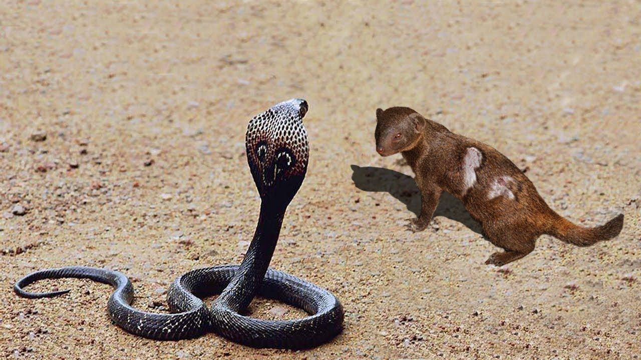 Mongoose And The Cobra's