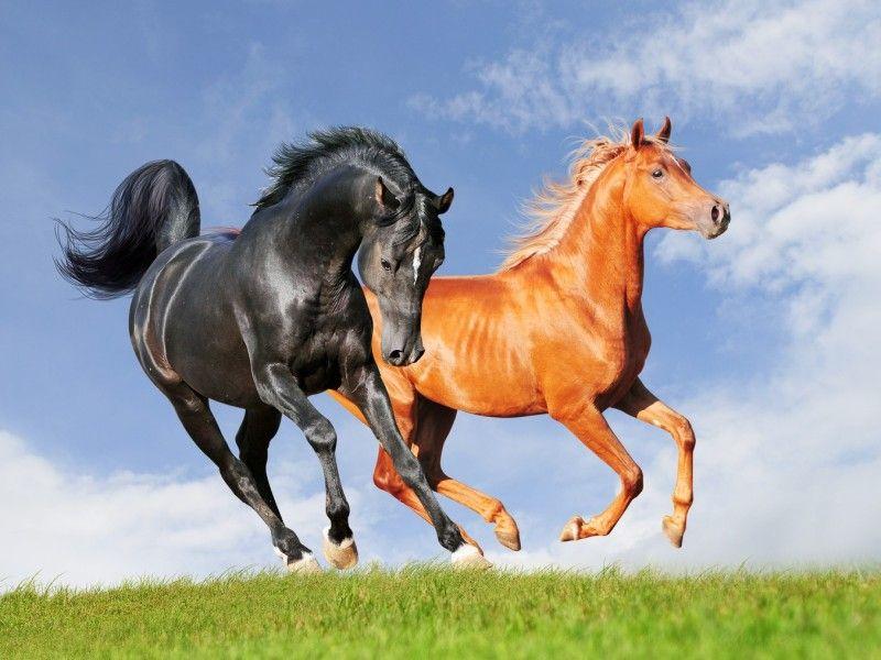 Les fonds d cran deux chevaux au galop en libert th me sur les chevaux et les images - Comment dessiner un cheval au galop ...