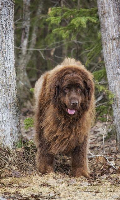 5 Of The Most Massive Dog Breeds Giant Dog Breeds Giant Dogs Newfoundland Dog