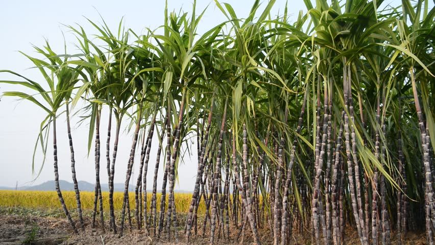 Image Result For Sugarcane Hd Agriculture Sugarcane Plants