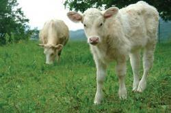 Facts about Dexter Cattle | Acreage Life Magazine