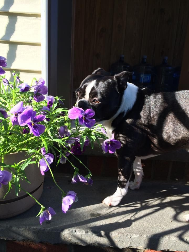 26 Amazing Pictures Of Dogs Enjoying Summertime Boston Terrier