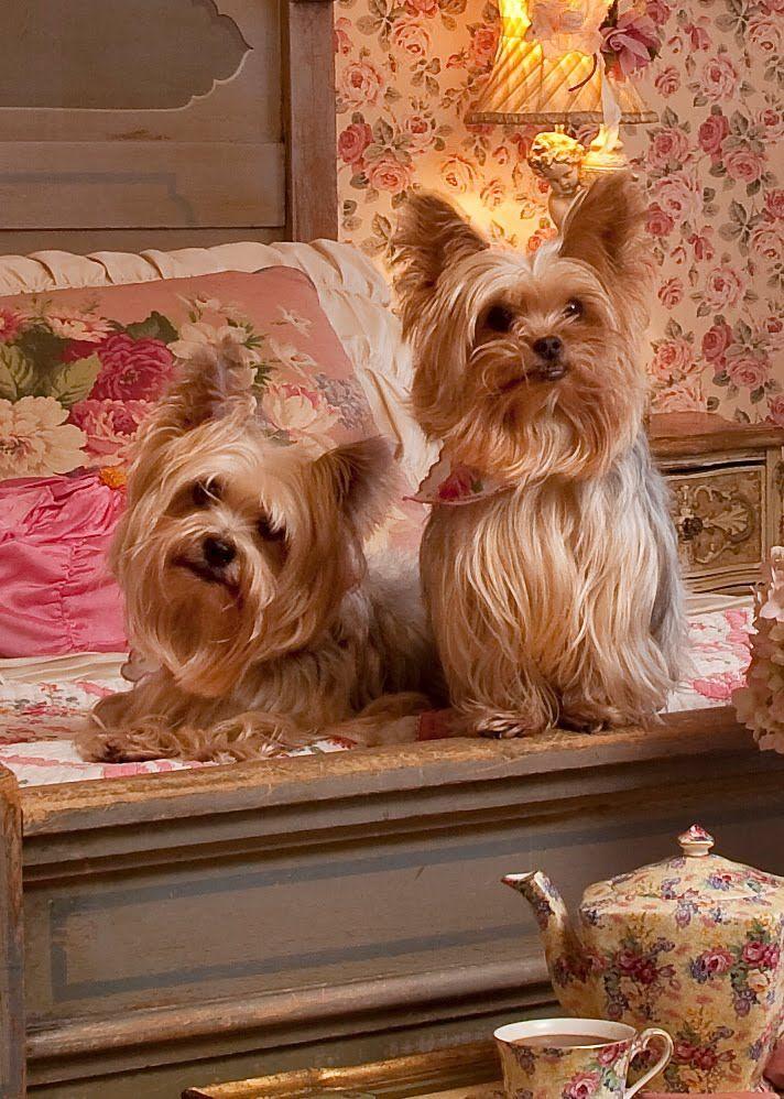 Sweet Yorkshire Terriers