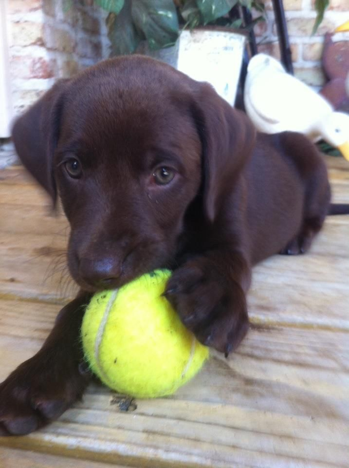 the cutest little chocolate lab ever, and shes all mine<3