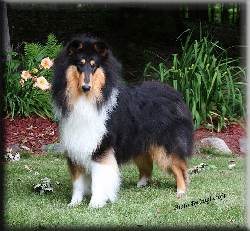 Pin On Collie Sheltie Favorites