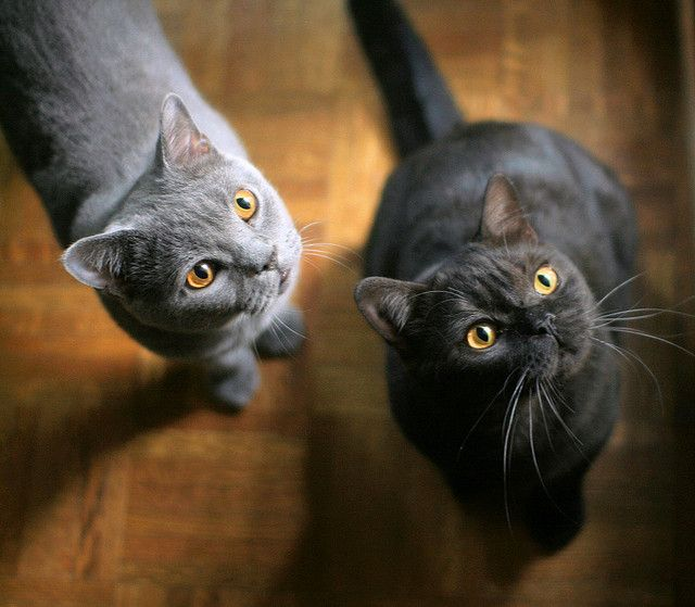 Pin By Jess On So Cute British Shorthair Cat Breeds British Shorthair Cats