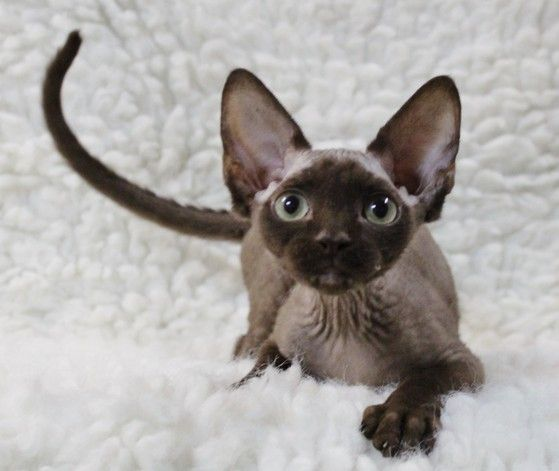 Devon Rex Kittens For Sale Two Girls Sold Sold With Images Devon Rex Kittens Kittens Devon Rex
