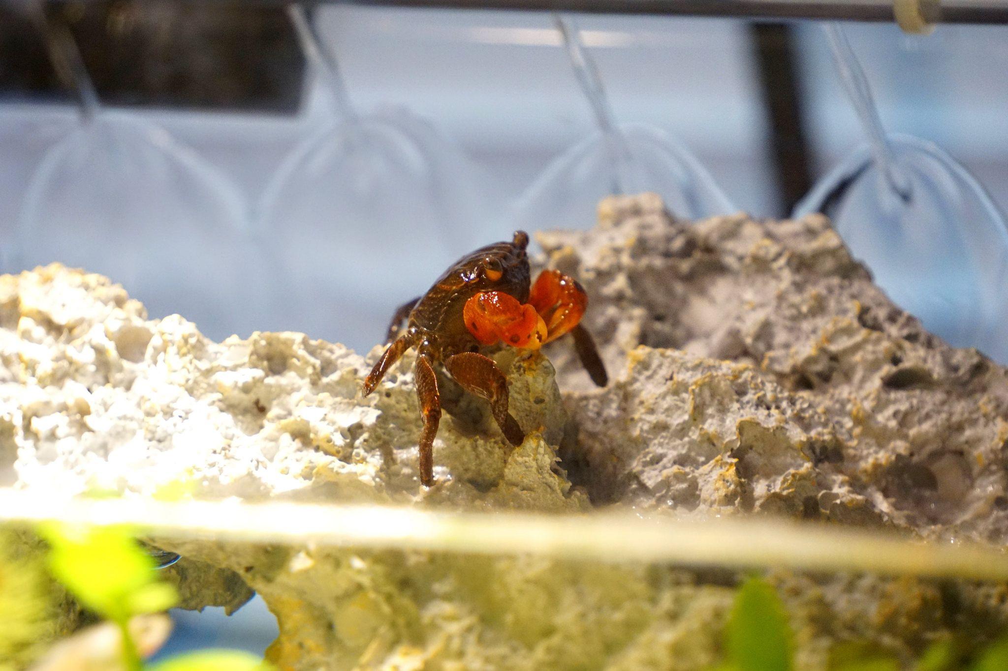 Caresheet Red Claw Crab Perisesarma Bidens Crab Pet Tank Crab Fishing