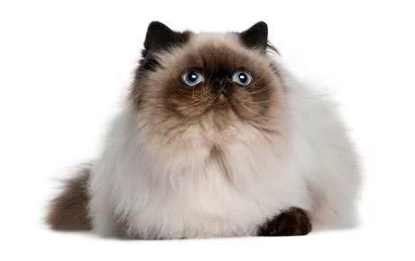 Download 93+  Gambar Foto Kucing Persia Terlihat Keren Gratis