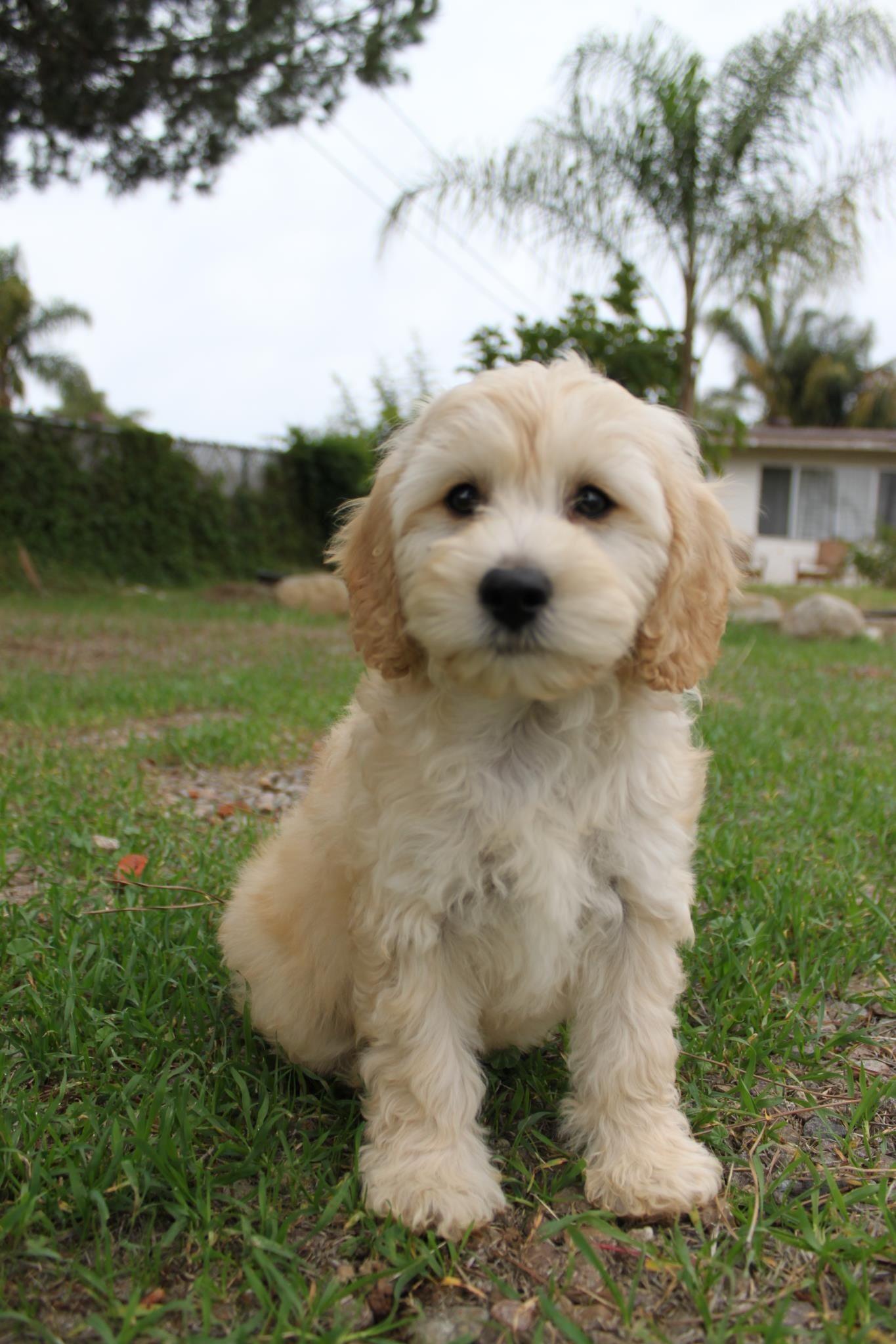 Cavapoo Cavapoo Puppies Cavapoo Cute Dog Pictures