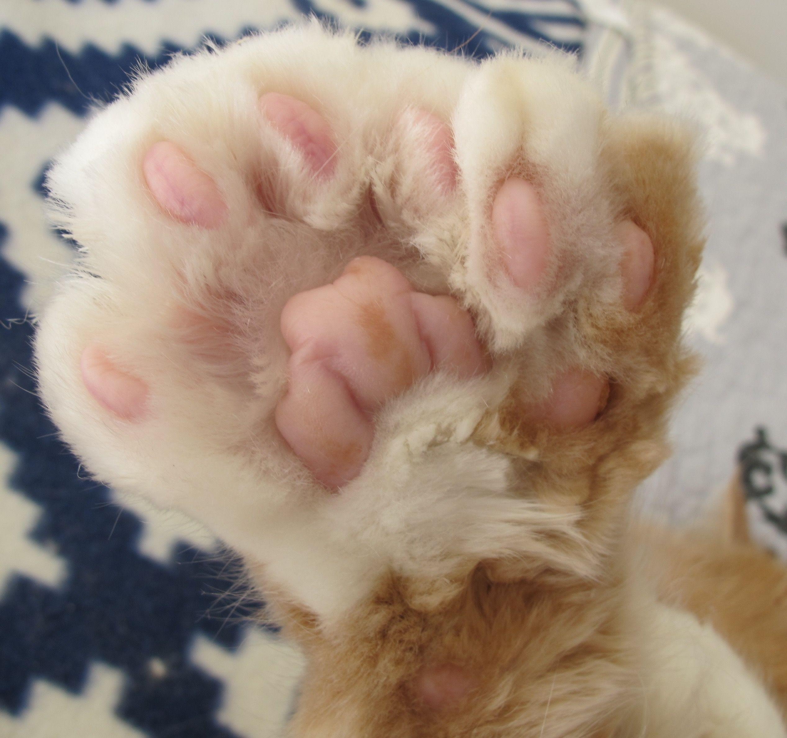 Image result for sleeping orange kitten polydactyl