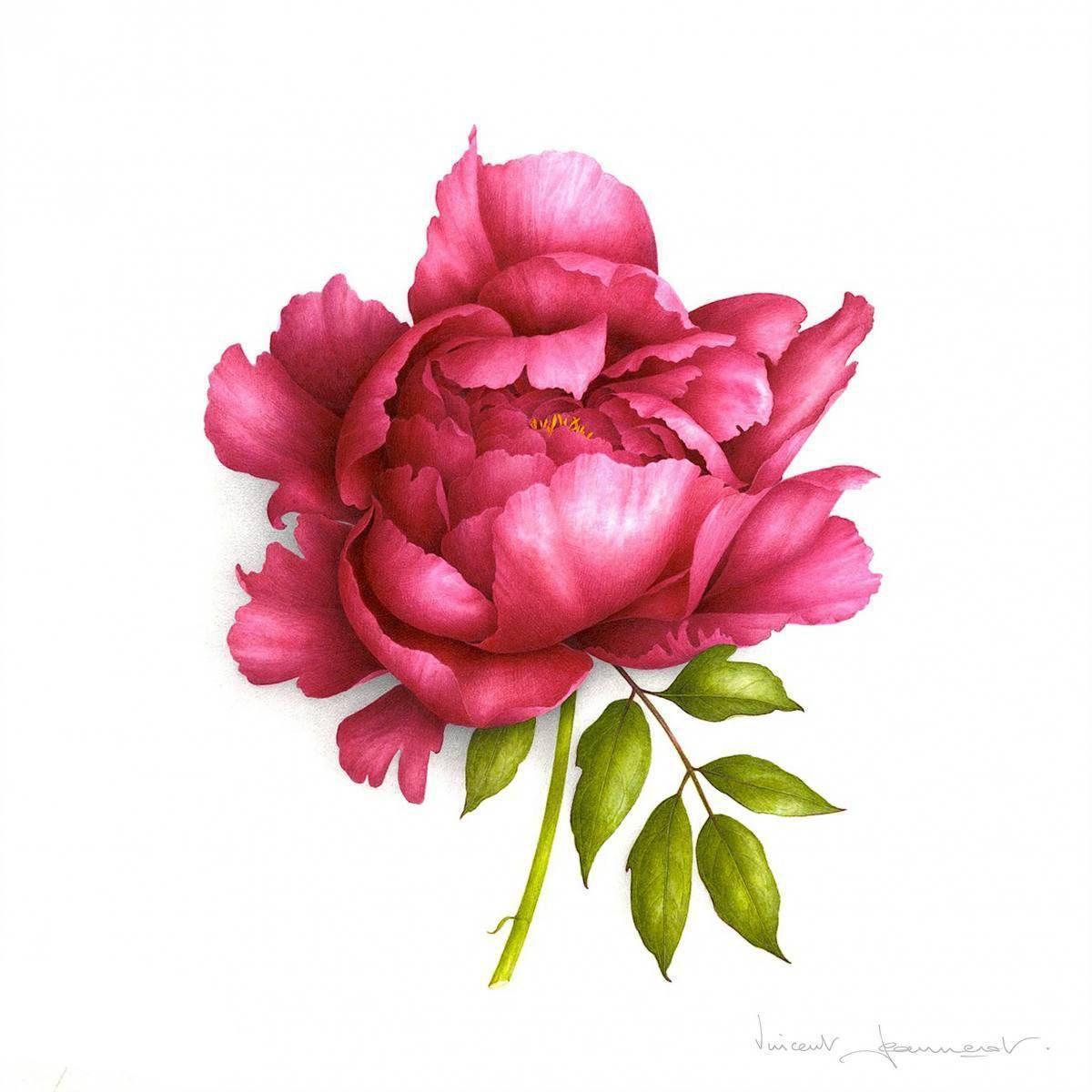 Red Peony Dessin Pivoine Art Floral Pivoine