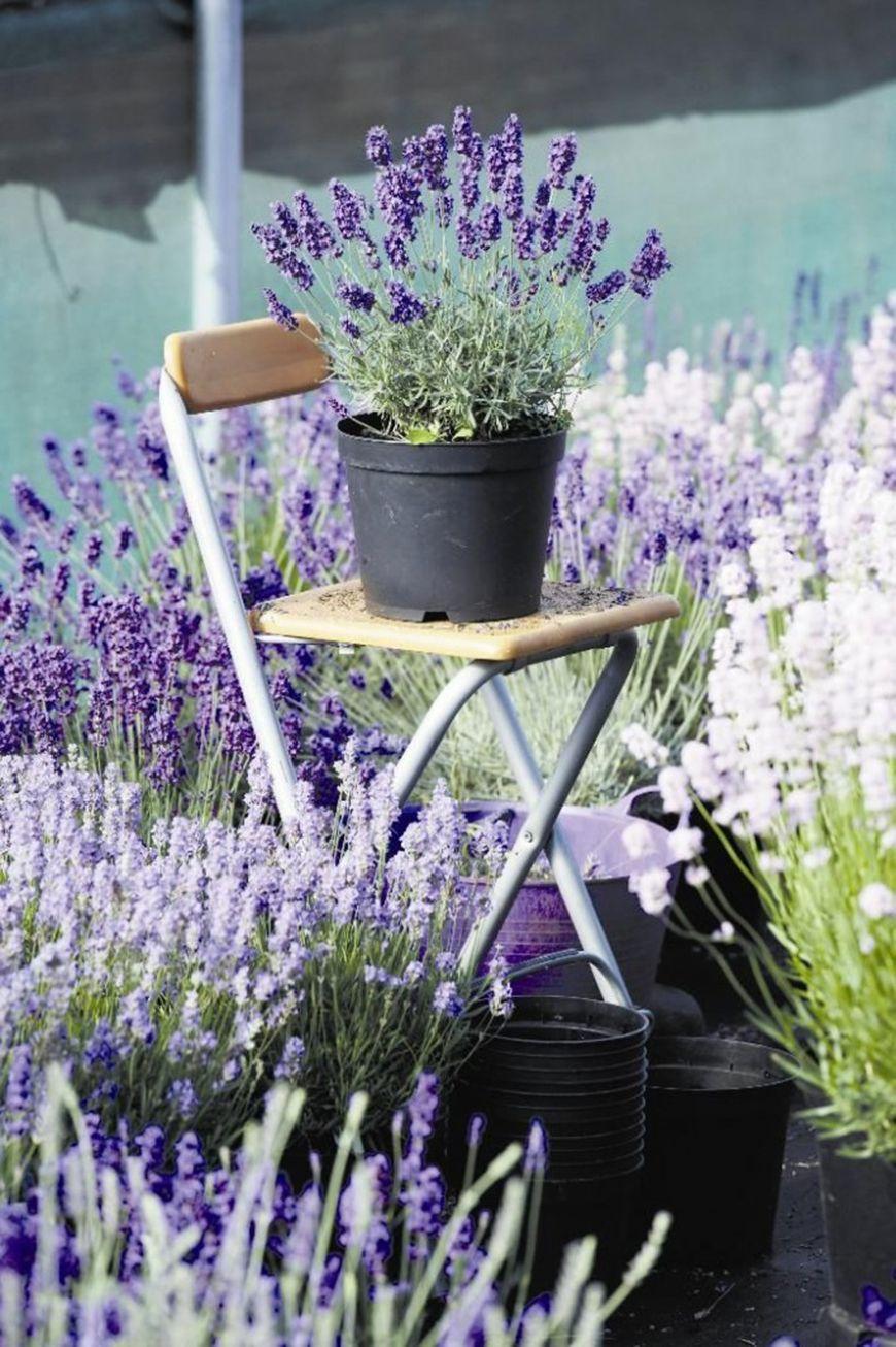 Como cultivar lavanda em casa lavanda alfazema lavanda e flores Cultivar lavanda en casa