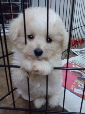 Aww I Wont Be Naughty Puppies Bichon Dog Cute Baby Animals