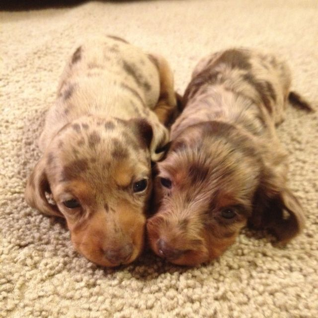 Dachshund puppies!!! Dapple! Going to have some of these in a few days! :)