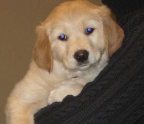 Adopt Piper On Puppy Love Golden Retriever Lab Mix Dogs