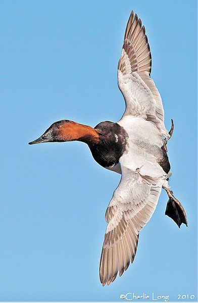 Canvasback Duck Images Google Search Bird Hunting Waterfowl Hunting Pet Birds