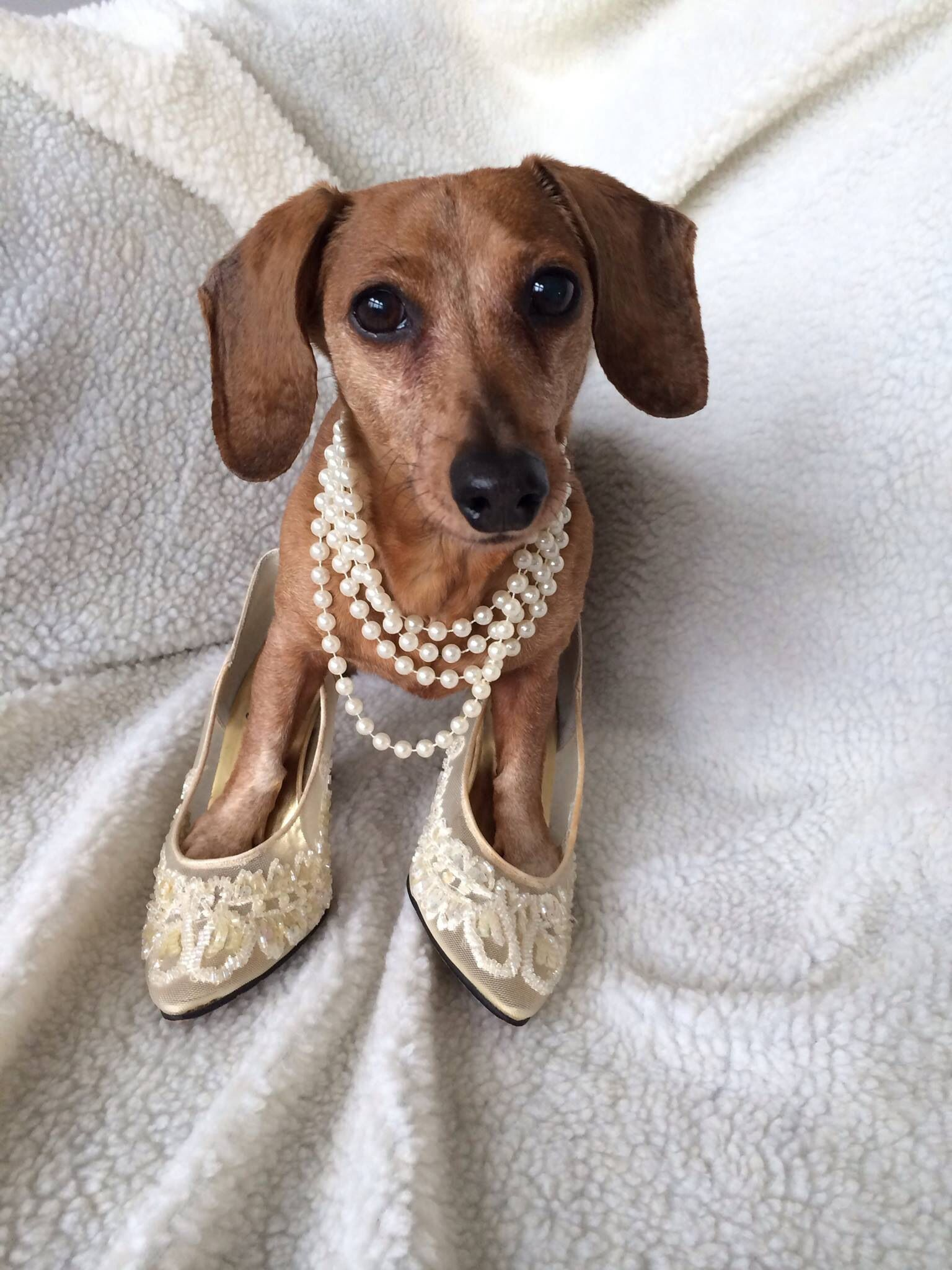 You can never go wrong with pearls!! Dachshund rescue