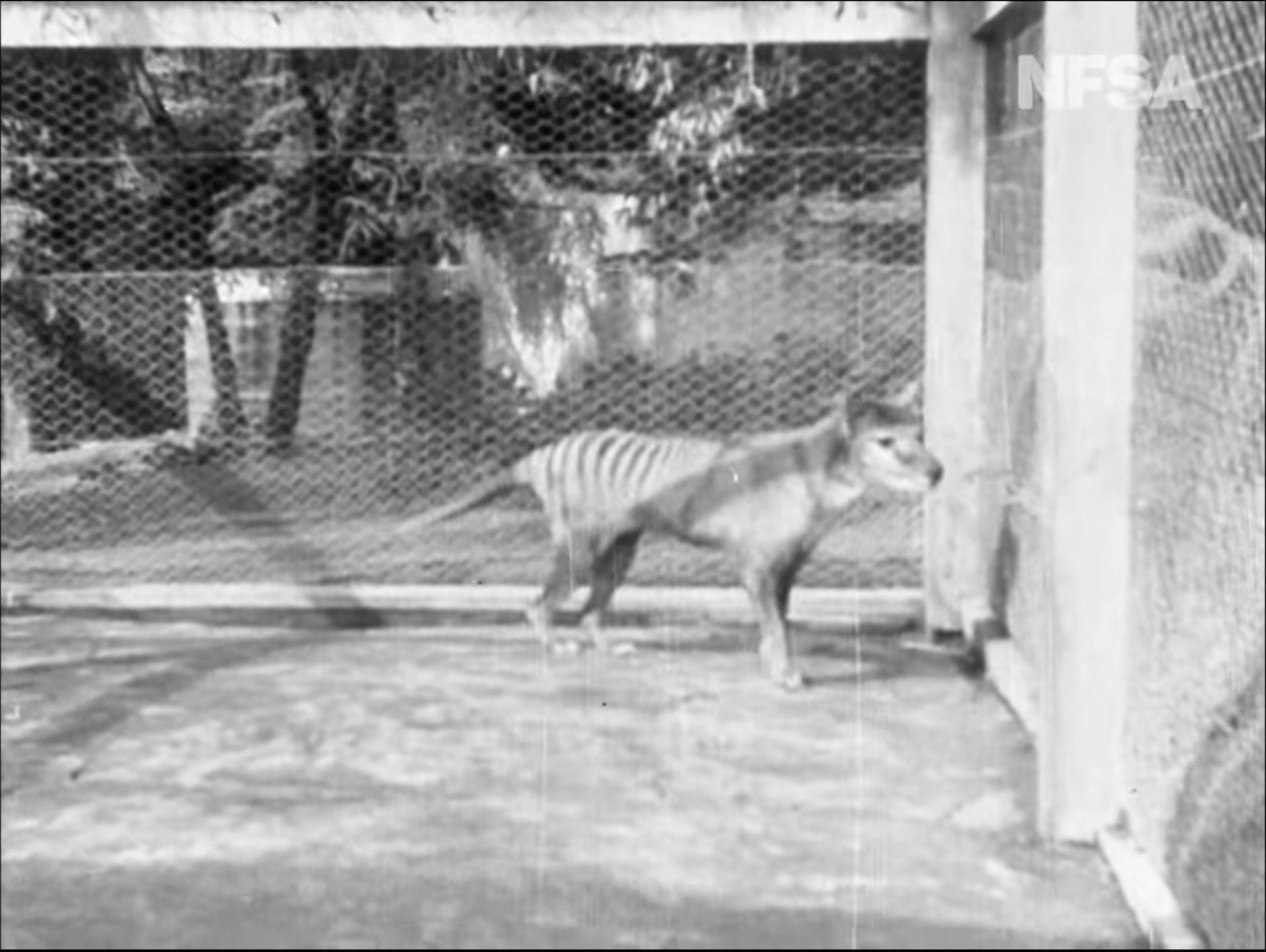 Lastknown video of 'Tasmanian tiger' rediscovered in 2020