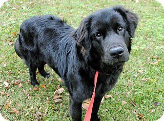 Flat Coated Retriever Retriever Puppy Large Dog Breeds Flat Coated Retriever