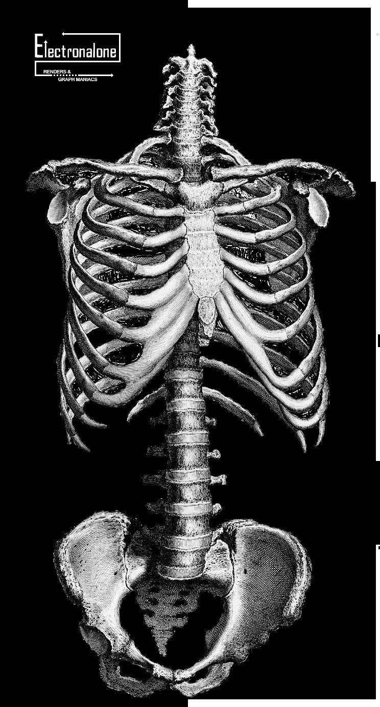 Renders squelette tronc humain gravure anatomie skeleton - Dessin du coeur humain ...