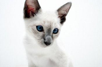 8 Types Of Siamese Cats Siamese Cats Cat Ages Cats