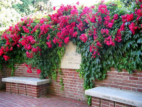 Climbing Roses And Boston Ivy    This Combo Is Going On The Back Wall Of