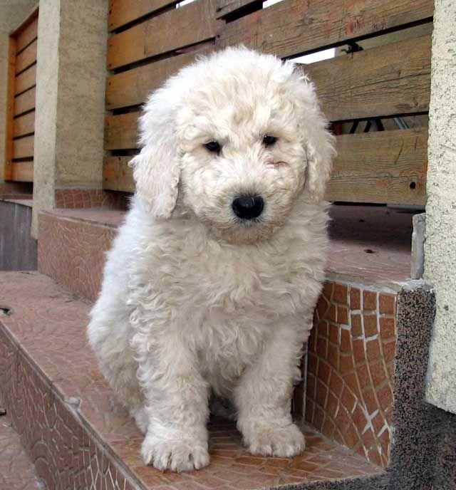 Komondor Puppy Google Search Adorable Puppies Dogs Komondor