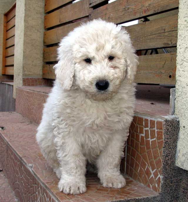 komondor   Komondor Puppies Blog » buy Komondor
