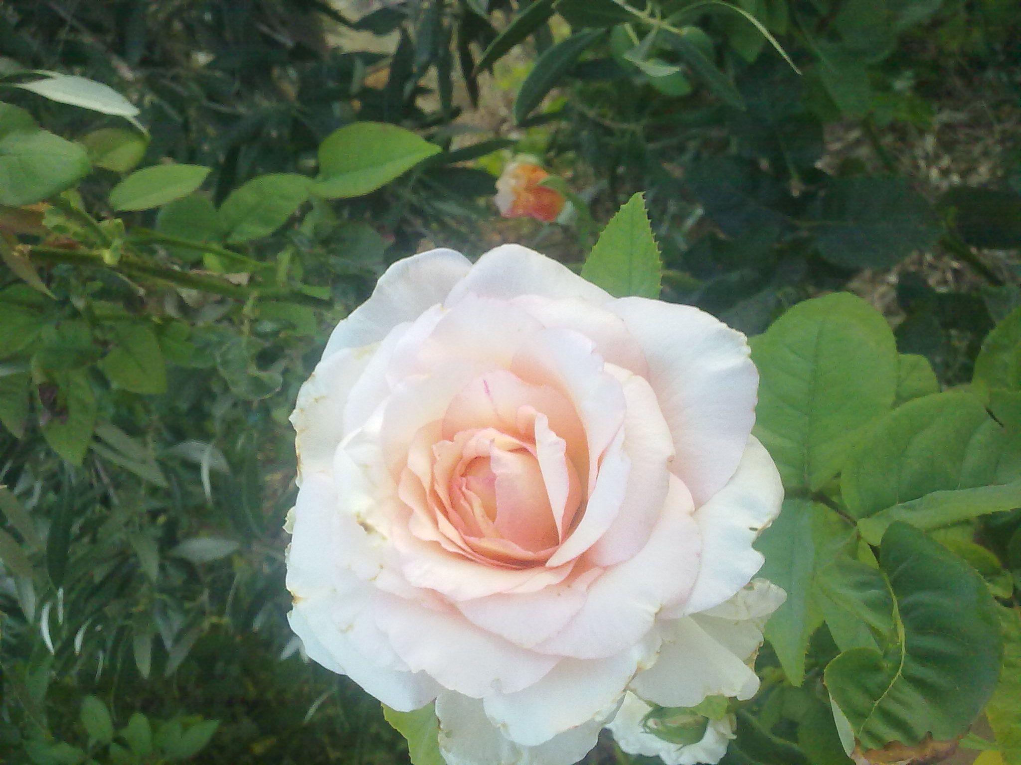 Pin By عبير عرفة On From My Garden Flowers Rose Plants