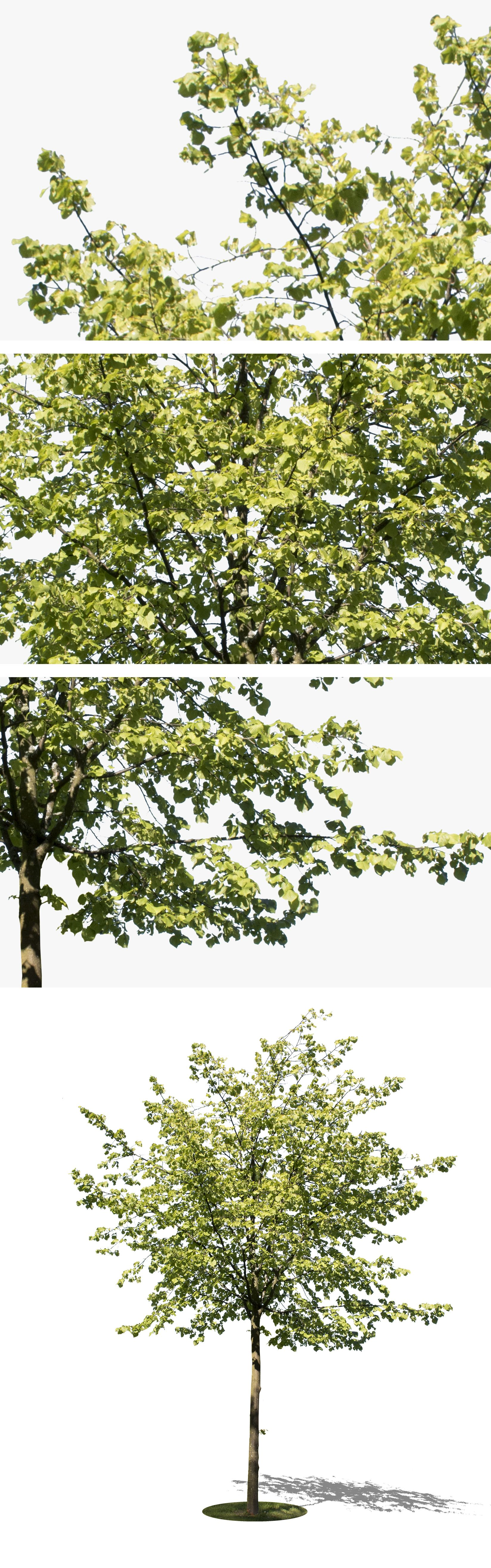 3835 X 4483 PNG Tree Image With Transparent Background Ready To Download