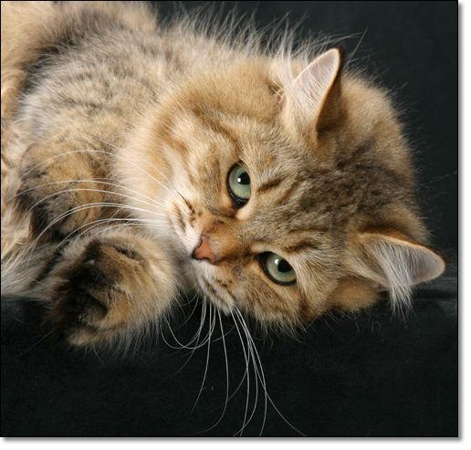 Brown Mackerel Tabby Siberian Siberian Cat Siberian Forest Cat Tabby Cat Pictures