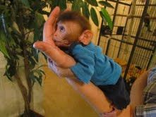 2 Super Male And Female Baby Capuchin Monkey Ready For New Homes