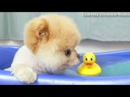 Great Boo Chubby Adorable Dog - 87bf54dd996b236dbcd1881cd675f7c6  Picture_879100  .jpg