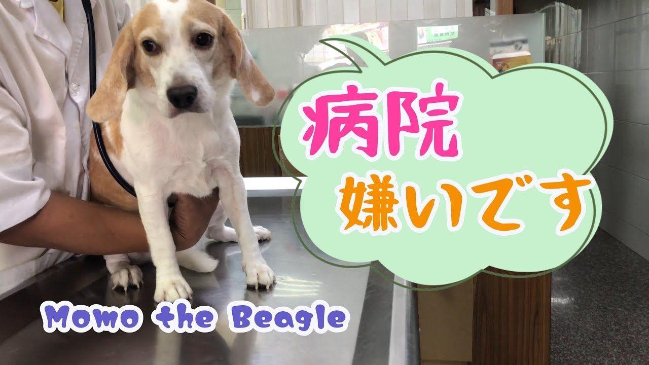 ビーグル犬モモ 予防接種を前に病院で取り乱しパパを困らせる Momo The Beagle Got Upset At The Vet Youtube ビーグル犬 ビーグル 犬