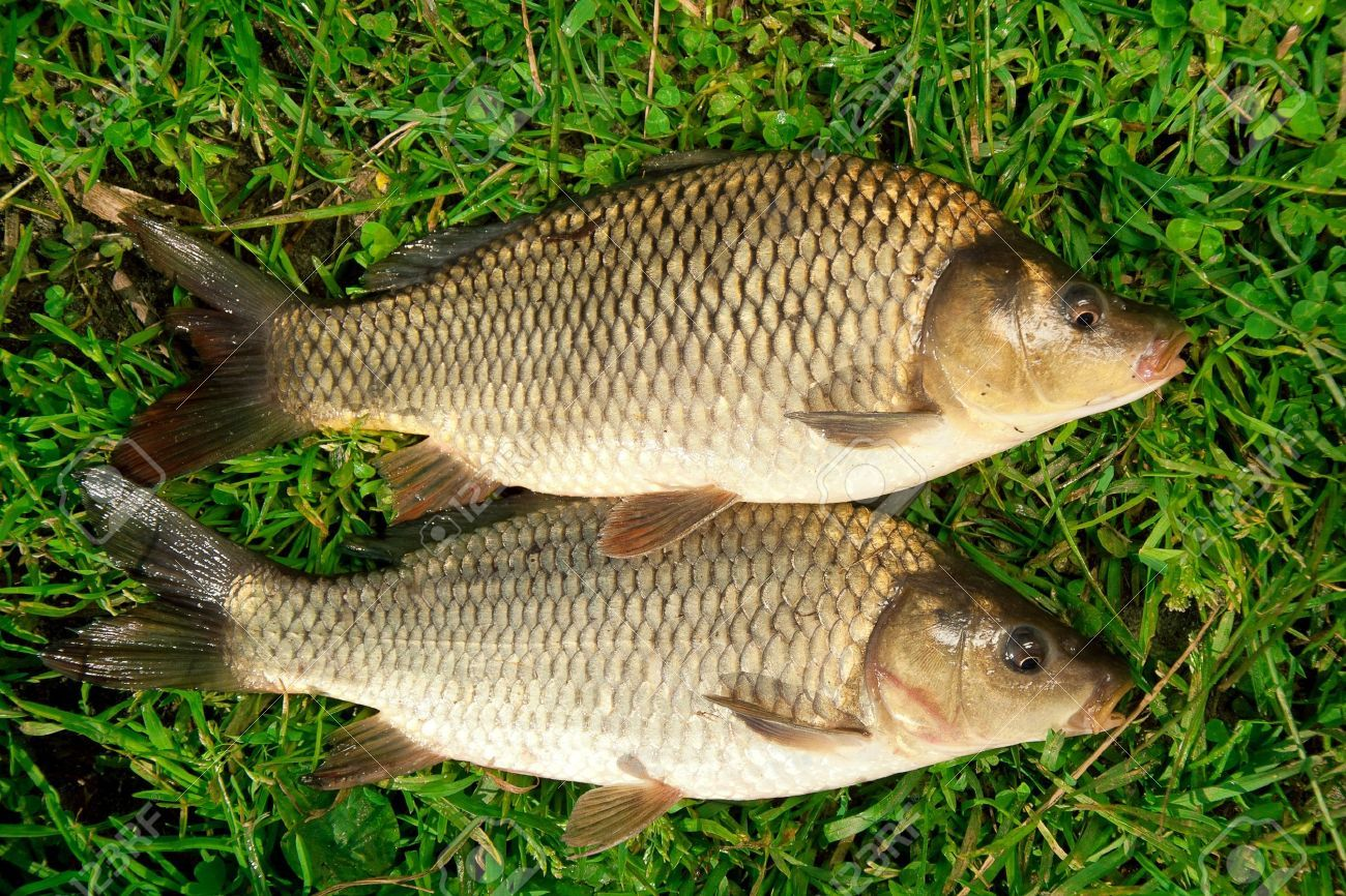 Cover Picture Green Grass Background Grass Carp Freshwater Fish