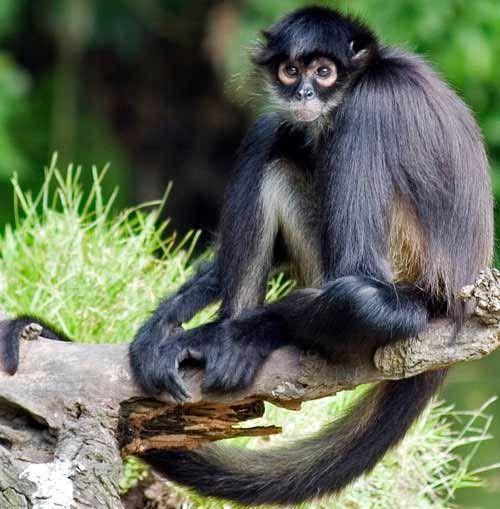 Types Of Monkeys Spider Monkey Types Of Monkeys Pet Monkey