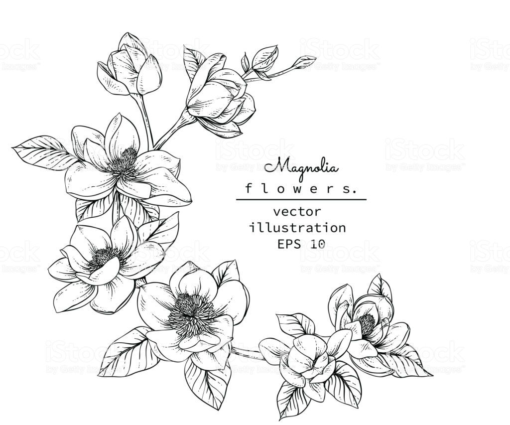 Sketch Floral Botany Collection Magnolia Flower Drawings Black And Flower Drawing Flower Sketches Magnolia Flower