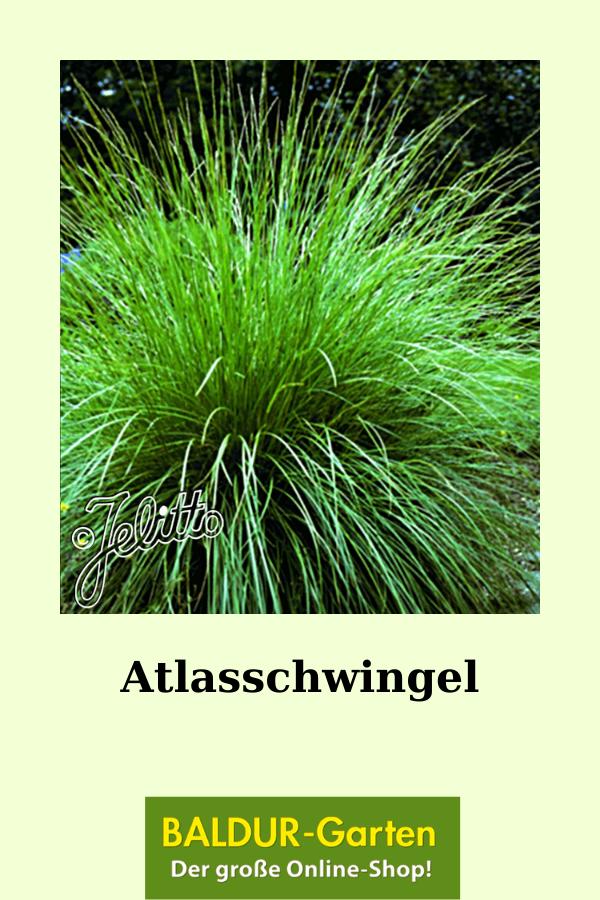 Atlasschwingel Ziergraser Bei Baldur Garten In 2020 Graser Pflanzen Gras Pflanzen